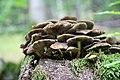 Pilze auf Totholz, Laubmischwald zwischen Parkplatz Katzenbuckel und Neustädter Haus II.jpg
