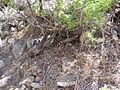 Pima Canyon Trail Gila Monster.JPG