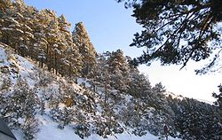Typical mountain pine grove in winter
