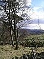 Pine trees, Hamilton Hill - geograph.org.uk - 149358.jpg