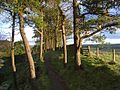 Pines above Crag Lough - geograph.org.uk - 1068783.jpg