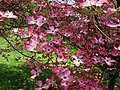 Pink-dogwood-tree-flower - West Virginia - ForestWander.jpg