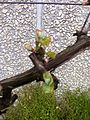 Pinot noir bud break.jpg