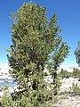 Pinus albicaulis (7888764298).jpg