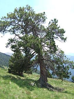 Pinus uncinata0.JPG