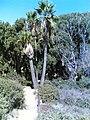 Pipe and Palms near Atlit - panoramio.jpg