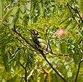 Pipiwharauroa in Japanese wattle tree.jpg