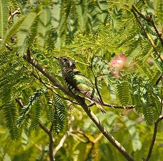 Shining bronze cuckoo - in New Zealand