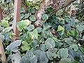 Pipla (Long peper) (Piper longum L.).jpg