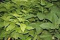 Pisonia alba (Lettuce tree) in Hyderabad, AP W IMG 0469.jpg