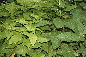 Pisonia - Image: Pisonia alba (Lettuce tree) in Hyderabad, AP W IMG 0469