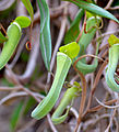 Pitcher Plants (Nepenthes albomarginata) hanging from cliff above the beach (15746982625).jpg