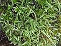 Plagiothecium undulatum 117697566.jpg