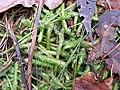 Plagiothecium undulatum 2006.01.08 14.21.27-p1080043.jpg