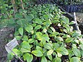 Plant Sapling of Horsfieldia kingii DSCN8792.jpg