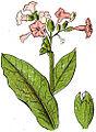 Plantas medicinales de las Repúblicas Oriental y Argentina nicotiana tabaco.jpg