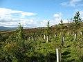 Plantation above Askrigg - geograph.org.uk - 567070.jpg