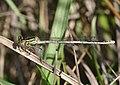 Platycnemis pennipes qtl1.jpg