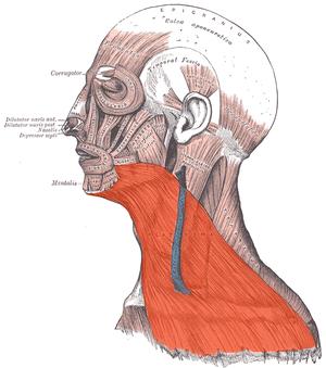 Platysma muscle - Image: Platysma
