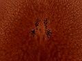 Pleioplana atomata (YPM IZ 073817).jpeg
