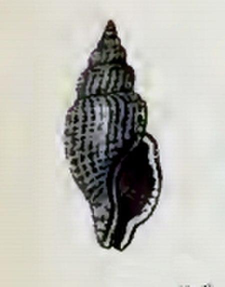 Asperdaphne hayesiana