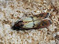 Plodia interpunctella - Indian meal moth - Южная амбарная огнёвка (43890224871).jpg
