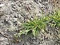 Poa annua (subsp. annua) sl5.jpg