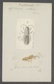 Podura - Print - Iconographia Zoologica - Special Collections University of Amsterdam - UBAINV0274 067 05 0006.tif