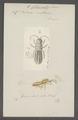 Podura - Print - Iconographia Zoologica - Special Collections University of Amsterdam - UBAINV0274 067 05 0006.tif