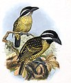 Pogonorhynchus hirsutus - 1870-1871 - Print - Iconographia Zoologica - Special Collections University of Amsterdam - UBA01 IZ18800021, crop.jpg