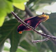 A red-violet parrot with a yellow underside-of-the-tail