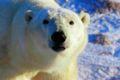 Polarbär 13 2004-11-17.jpg