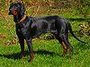 PolishScenthound-'NUTKA Klusujaca Sfora wl A.Balcerzak.jpg