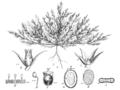 Polycnemum majus EP-1893.png