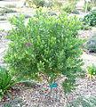 Polygala myrtifolia - San Luis Obispo Botanical Garden - DSC05967.JPG