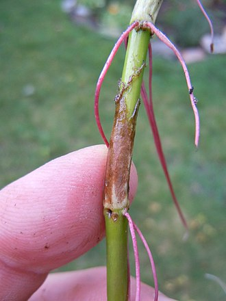 Plant stem - This above-ground stem of Polygonatum has lost its leaves, but is producing adventitious roots from the nodes.