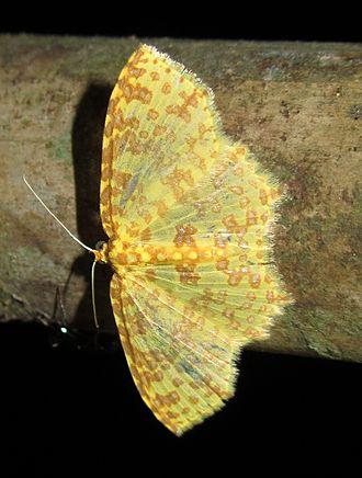 Polynesia (moth) - Image: Polynesia sp. (7234857356)