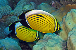 Polyp Butterflyfish - Chaetodon austriacus.jpg