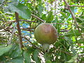 Pomegranate - മാതളനാരകം-3.JPG