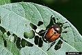 Popillia japonica (39).jpg
