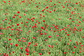 Poppy field (14304383485).jpg
