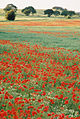 Poppy fields bordering M1, looking north towards Woolley edge services - geograph.org.uk - 373329.jpg