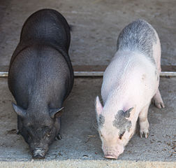 pot bellied pigs permaculture