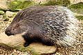 Porcupine - Shepreth Wilife Park (25249213336).jpg