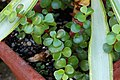 Portulacaria afra 'Red Stem' Plant 3008px.jpg