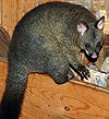 Possum Cradle Mountain.jpg