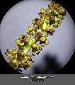 Potamogeton perfoliatus sl14.jpg