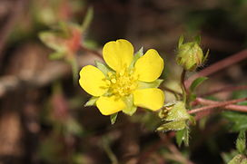 Potentilla fragarioides var. major.JPG