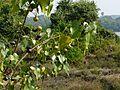 Prapparuththi (Malayalam- പൃപ്പരുത്തി) (3127521066).jpg