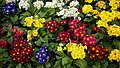 Primrose primula cultivars in the City of London Cemetery and Crematorium.jpg